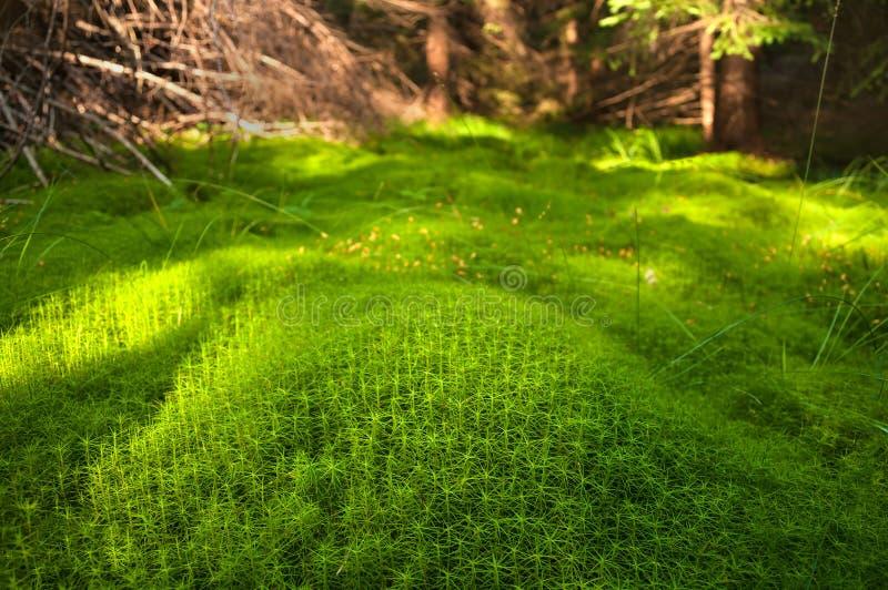 Houten diep mos in het bos Groene mos in de Karpaten royalty-vrije stock afbeelding