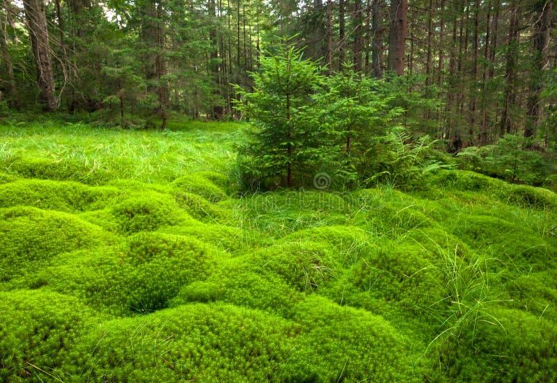 Houten diep mos in het bos Groene mos in de Karpaten stock foto