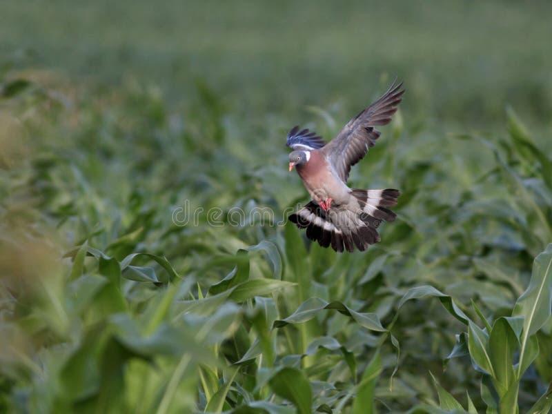 Houten duifvlucht stock fotografie