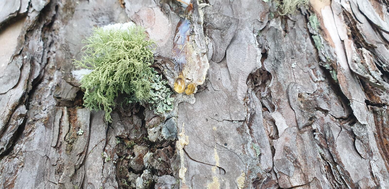 Houten hars dichte omhooggaand stock foto