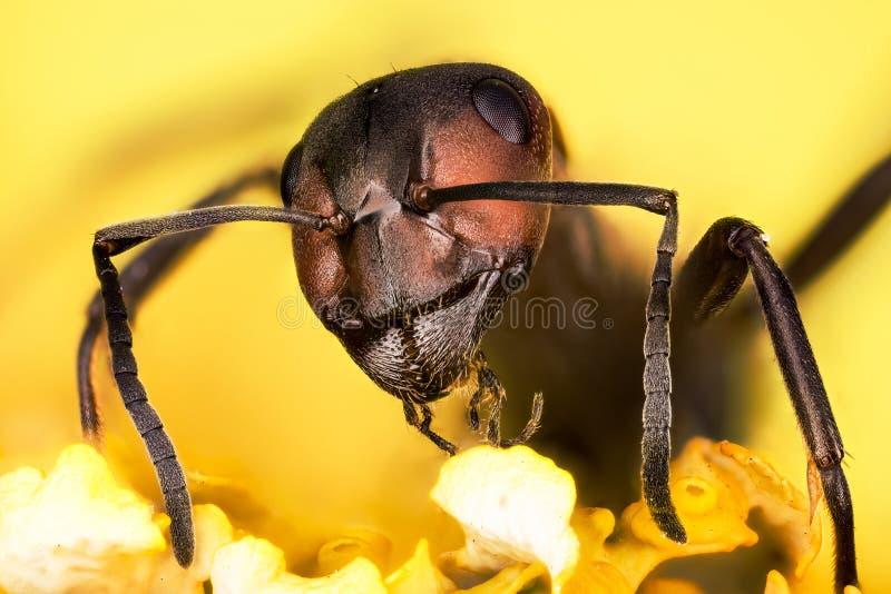 Houten mier, Mier, Mieren, Formica rufa royalty-vrije stock afbeeldingen