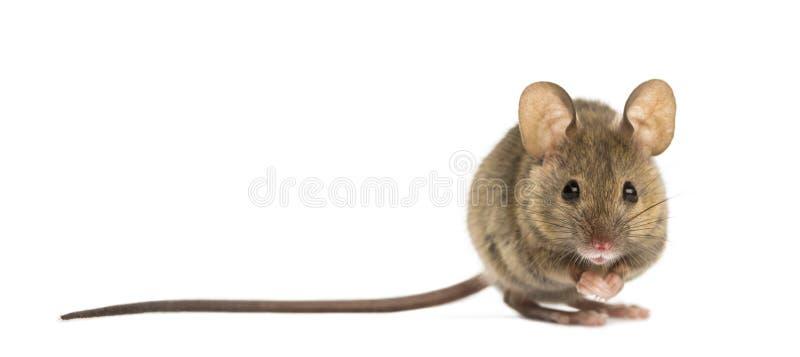 Houten muis stock foto