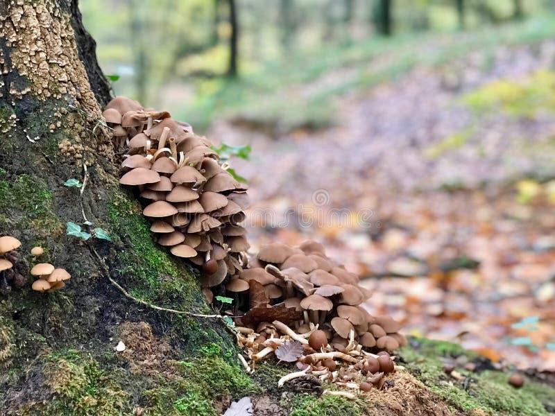 Houten Paddestoelenpaddestoelen in Bos/het Type van Beuk royalty-vrije stock foto