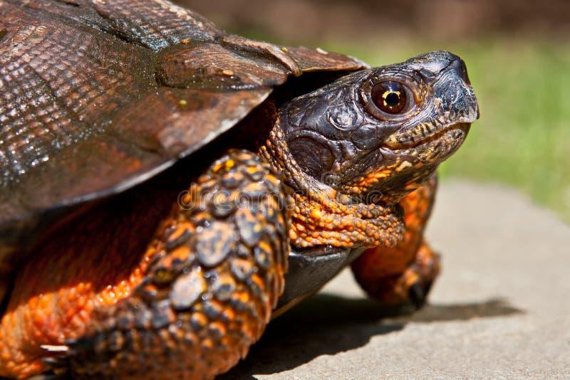 Houten Schildpad stock afbeeldingen