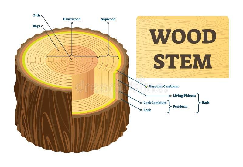 Houten stam vectorillustratie De onderwijs geëtiketteerde structuur van boomringen royalty-vrije illustratie