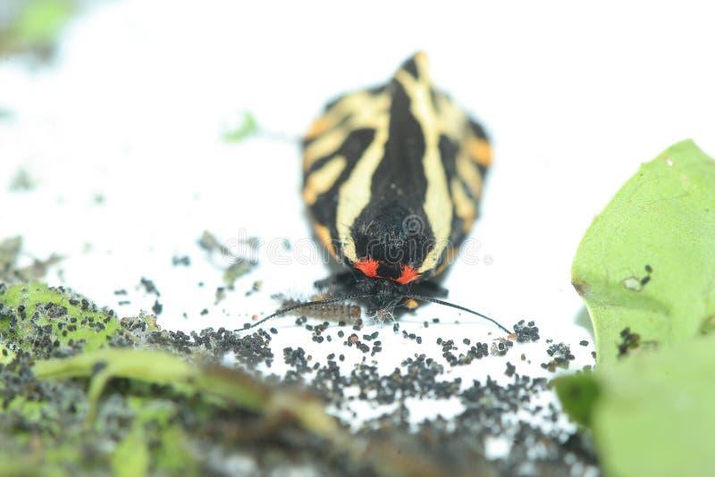 Houten tijgerbuttefly royalty-vrije stock afbeeldingen