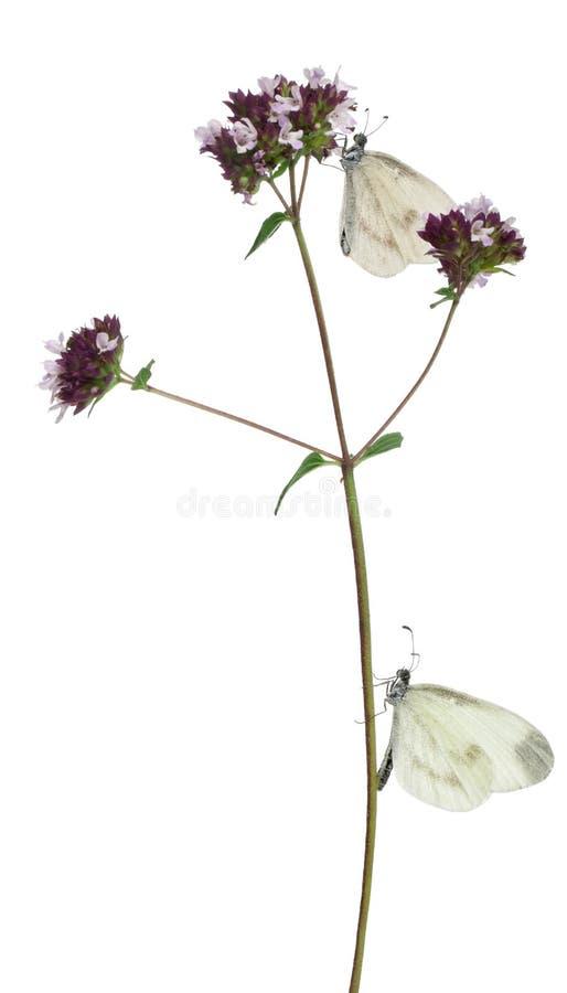 Houten Wit, sinapis Leptidea, op Orego stock afbeeldingen