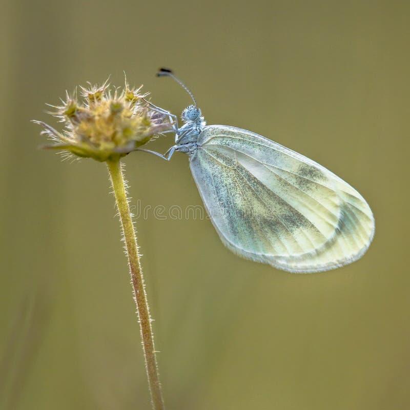 Houten witte vlinder royalty-vrije stock foto