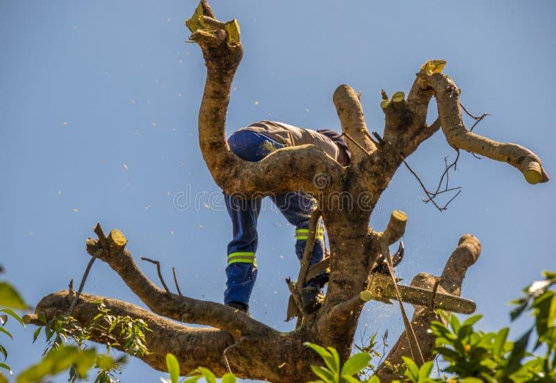 Houthakker aan het werk bij de bovenkant van een boom stock foto's