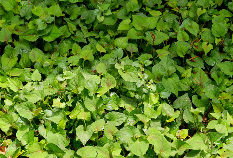 Houttuynia cordata Thunb stock image