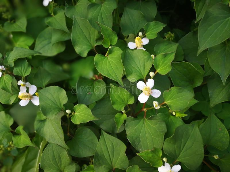 Houttuynia cordata royalty free stock images