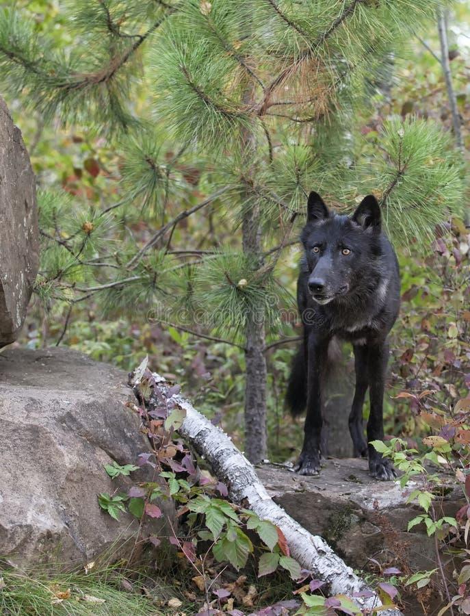 Houtwolf royalty-vrije stock foto
