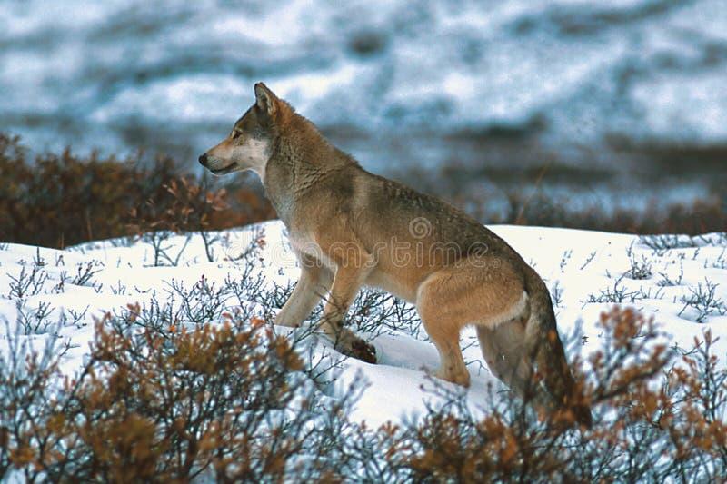 Houtwolf of grijze wolf royalty-vrije stock foto's