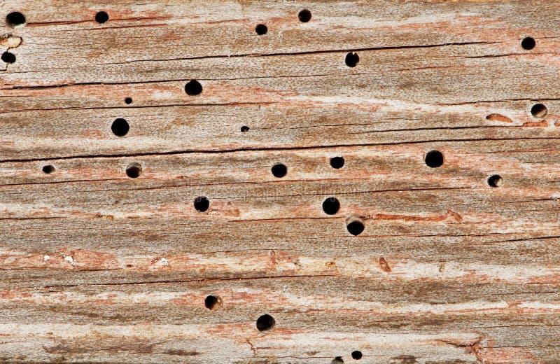 Houtworm stock foto
