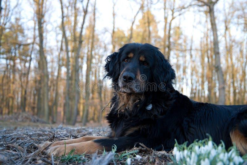 Hovawart, black dog royalty free stock photo