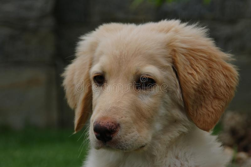 Hovawart - cão de cachorrinho foto de stock royalty free
