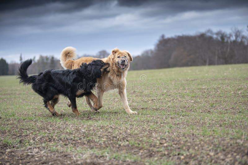 hovawart del perro que guarda la raza de Alemania foto de archivo libre de regalías