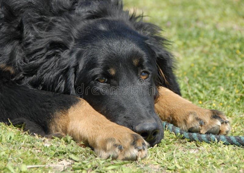 Hovawart do filhote de cachorro imagens de stock royalty free