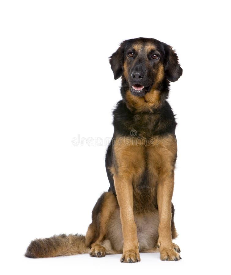 Hovawart dog (6 years) stock photo