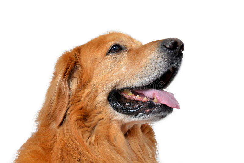 Hovawart dog stock images