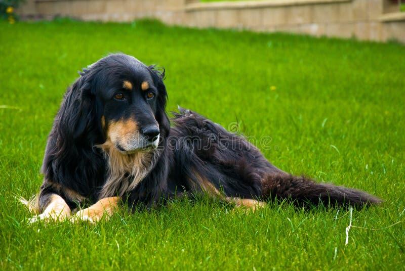 Hovawart - Hond stock afbeeldingen