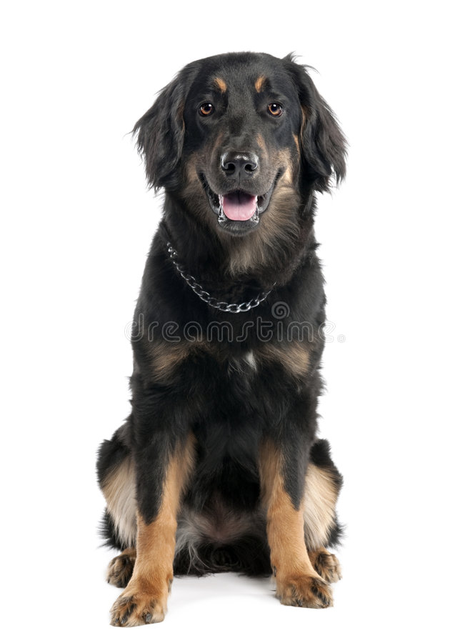 Hovawart Hund (7 Monate) stockfotografie