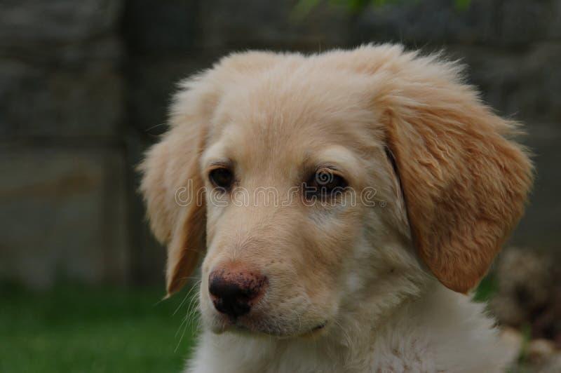 Hovawart - puppyhond royalty-vrije stock foto