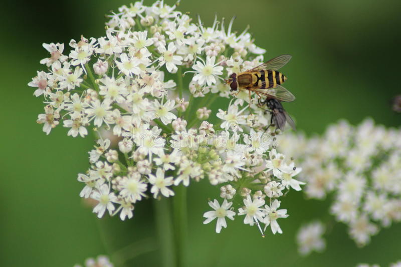 Hover flies collection nectar. Hover flies, Syrphidae, colletion nectar from cow parsley stock photo