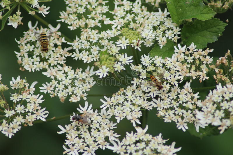 Hover flies collection nectar. Hover flies, Syrphidae, colletion nectar from cow parsley royalty free stock images