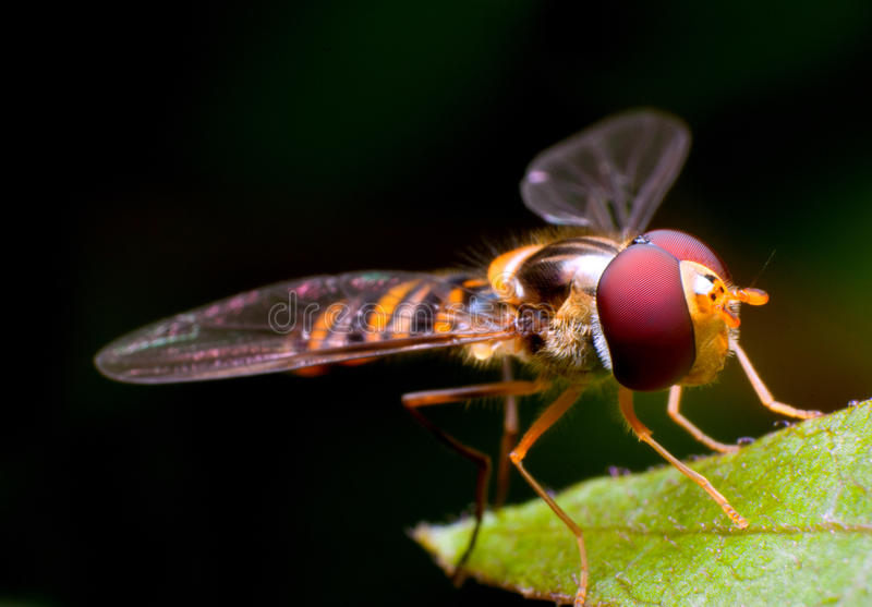Hover Fly. Macro shot of a hover fly on a leaf royalty free stock photo