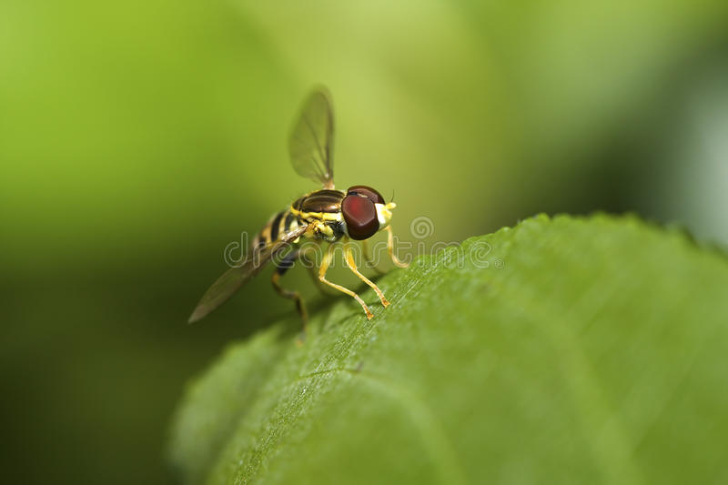 Hover fly. Resting on a plant leaf stock images