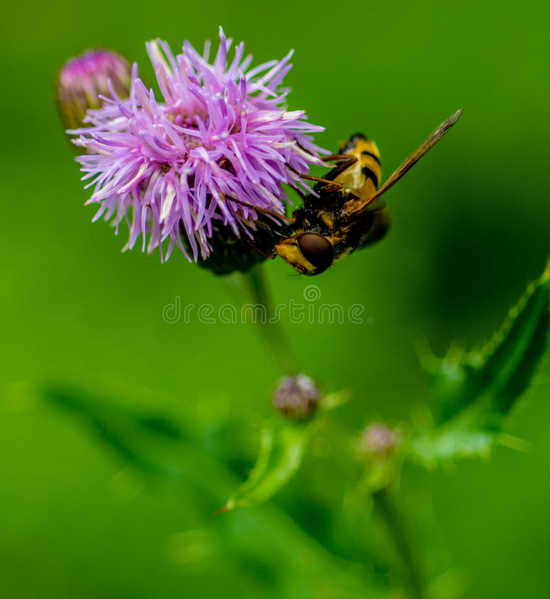 Hover Fly on a Creeping Thistle. Lakeside park Bedfordshire stock photo