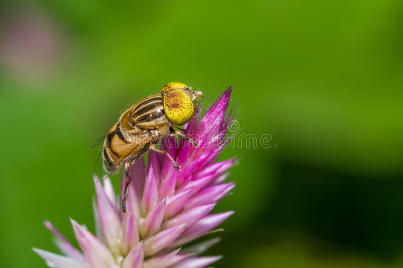 Hover fly ( Eristalinus species Syrphidae ). Perched on a pink wild flower stock images