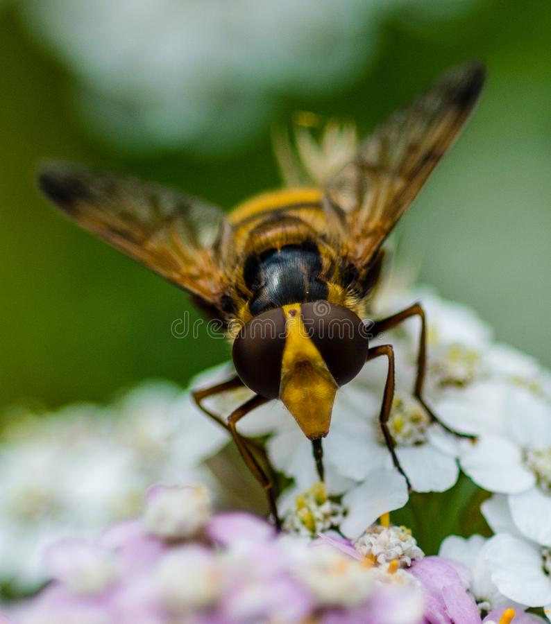 Hover Fly. Hoverflies, sometimes called flower flies, or syrphid flies, make up the insect family Syrphidae. As their common name suggests, they are often seen stock photography