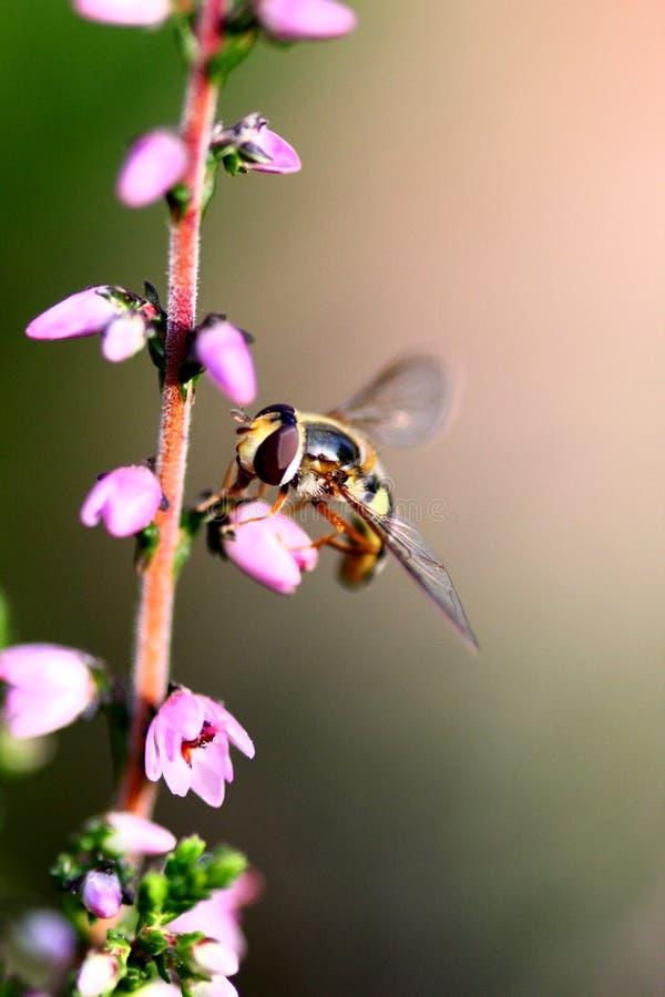 Hover fly macro stock photos