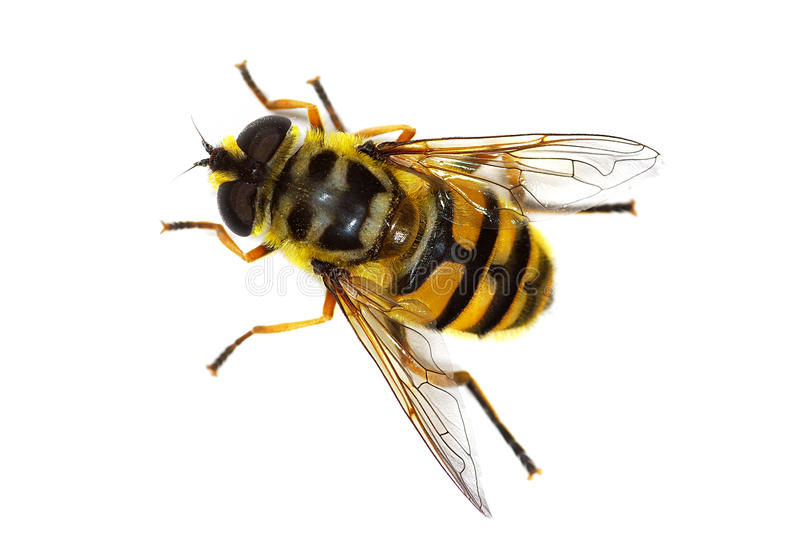 Hover fly Myathropa florea. (Syrphidae), simulating a bee stock photos