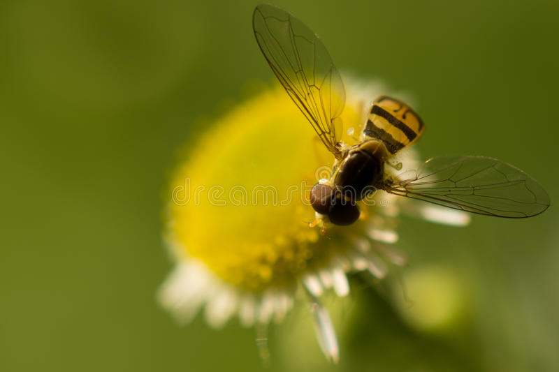 Hover Fly Pollinating stock images