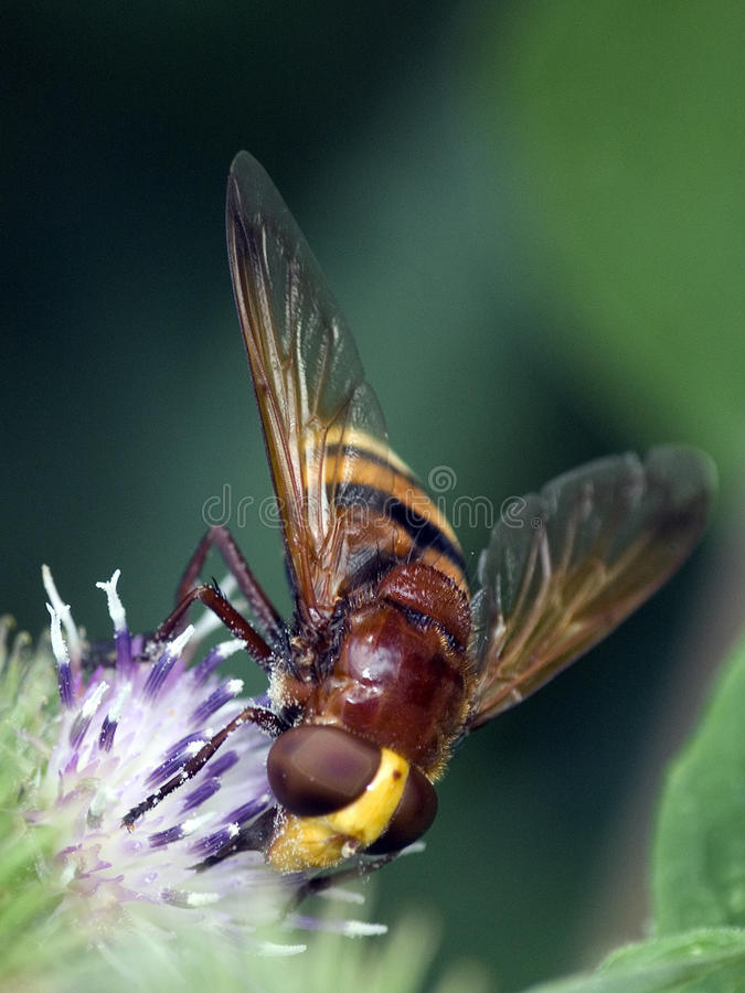 Hover-fly (Volucella Zonaria). Collecting nectar from a thistle plant stock photo