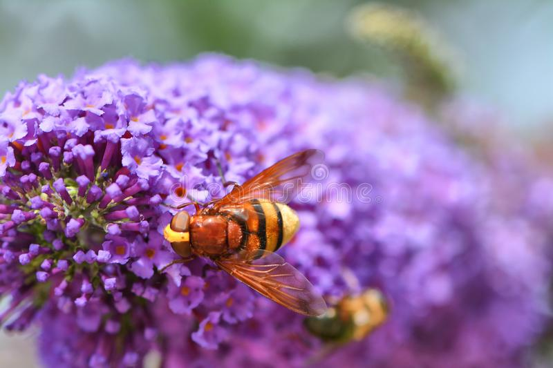 Hover fly, volucella zonaria, on buddleia blossom. One of many kinds of hover fly that mimic bee and wasps. This is one of the larger ones on beautiful buddleia royalty free stock images