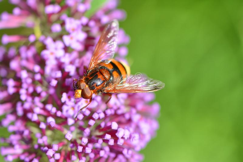Hover fly, volucella zonaria, on buddleia blossom. One of many kinds of hover fly that mimic bee and wasps. This is one of the larger ones on beautiful buddleia stock image