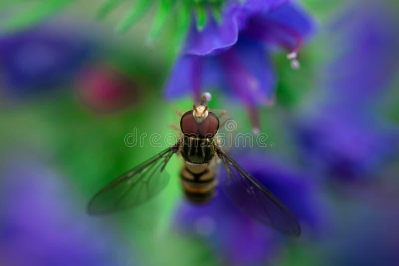 Hoverflies坐花,Syrphidae 库存图片