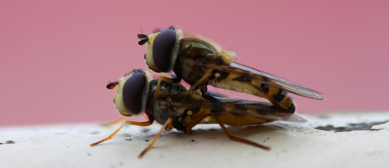 Hoverflies fotos de stock