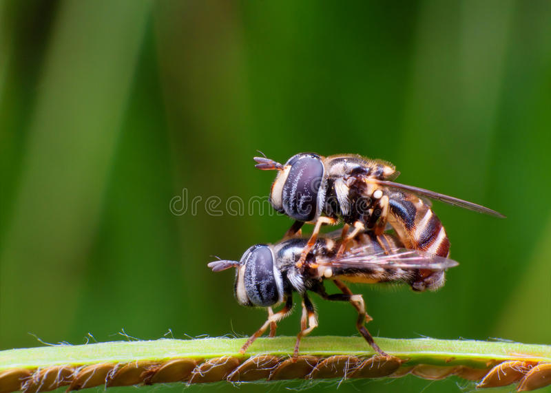 Hoverflies Mating Stock Image