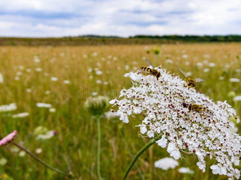Hoverflies odpoczywa na Dzikiej marchewce kwitnie w Brytyjskiej łące fotografia royalty free