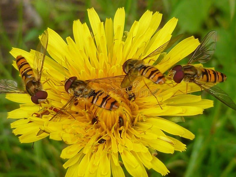 Hoverflies op een paardebloem stock foto's