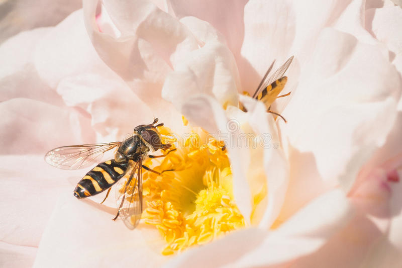Download Hoverflies on Pink Rose stock image. Image of hoverfly - 59525293