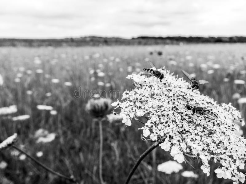 Hoverflies resting on Wild Carrot flowers in a British meadow stock photography