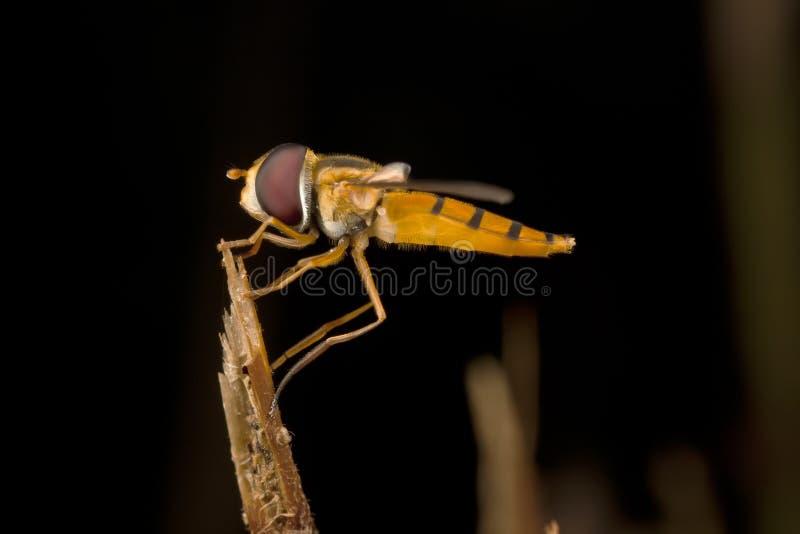 hoverfly休息 库存图片