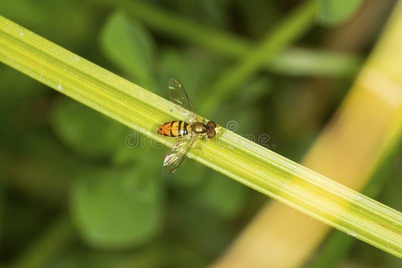 Hoverfly在南温莎,康涅狄格的一片叶子栖息 免版税库存照片