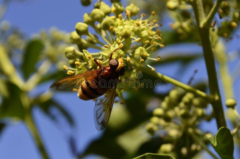 hoverfly大黄蜂仿造物volucella zonaria 库存图片